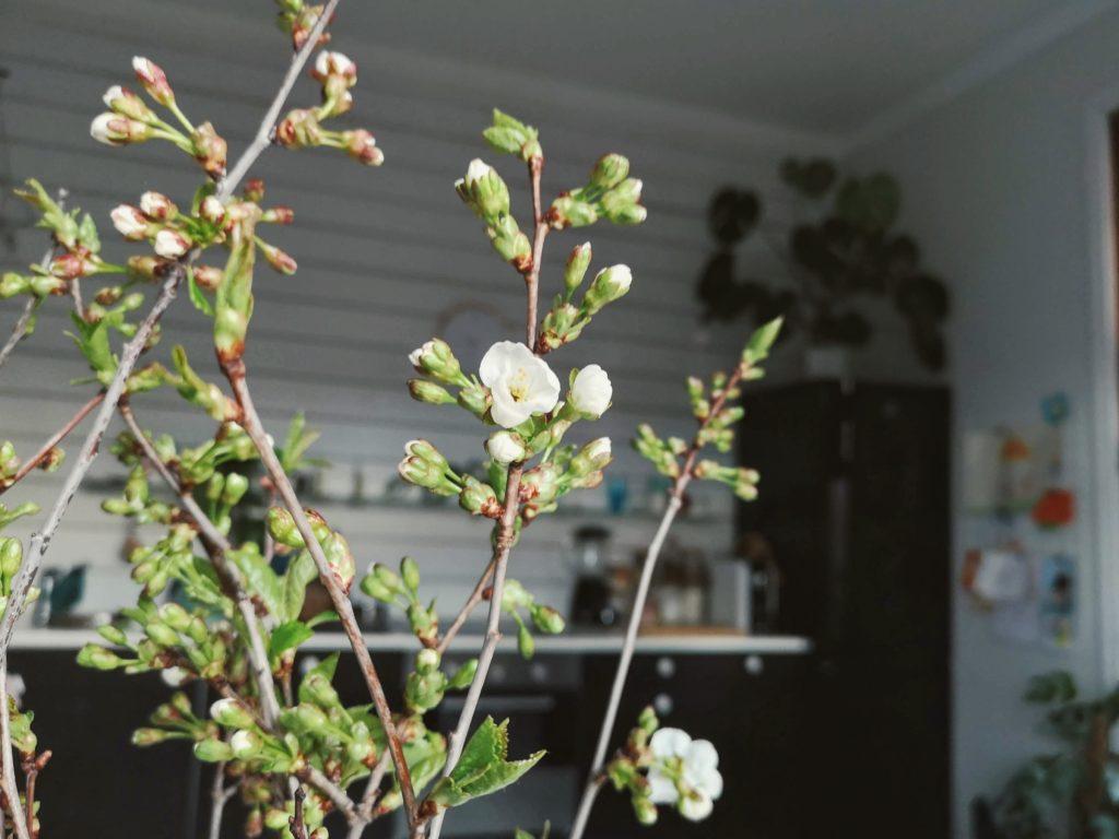 kirsikan oksa
